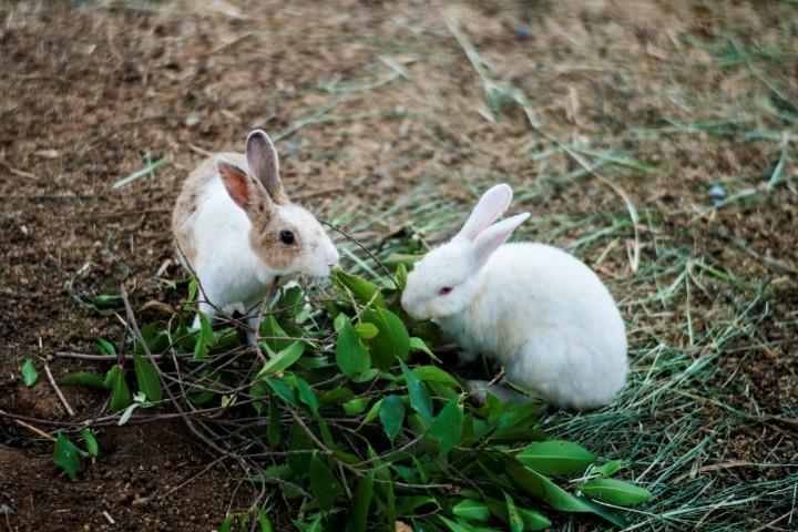 Cara merawat kelinci Berikan makanan utama yang bergizi