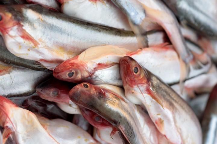Cara memanen ikan patin